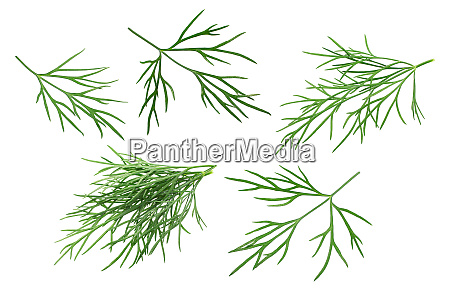 dill leaves a graveolens paths