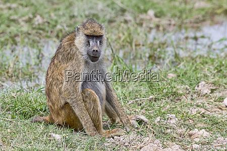 kenya amboseli pavian 2018 4519