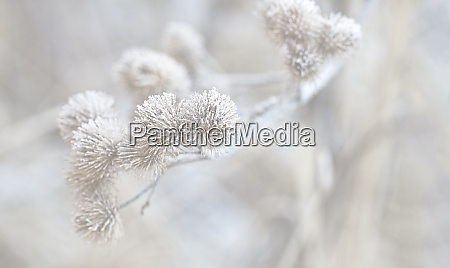 delicate dry plant with hoarfrost