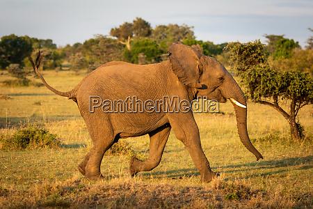 african bush elephant runs through sunlit