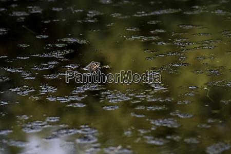 common frog of sardinia present in
