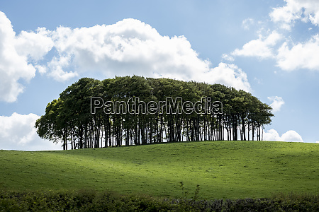 landscape with beech tree copse on