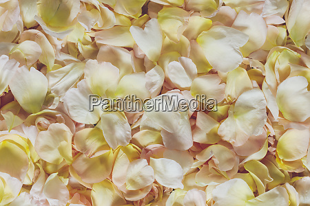 pale yellow and pink rose petals