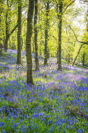 bluebells flowering in the forest perth