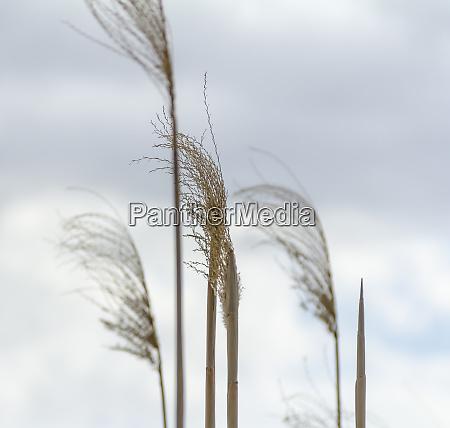reed frond closeup