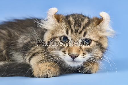 cat american curl 2019 17947b
