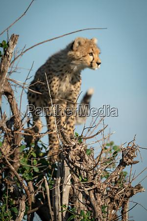 cheetah cub stands in bush staring