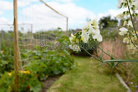 white everlasting pea flowers in an