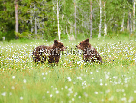 two young bears in the middle