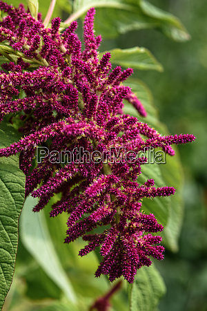 amaranth red inflorescence close up in
