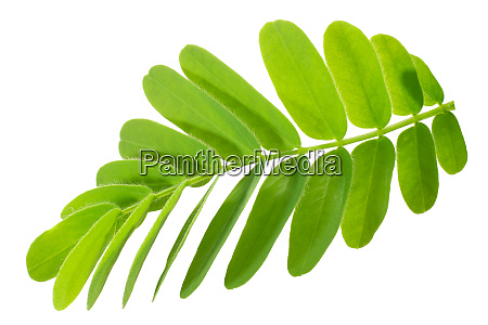 tamarind t indica leaves paths