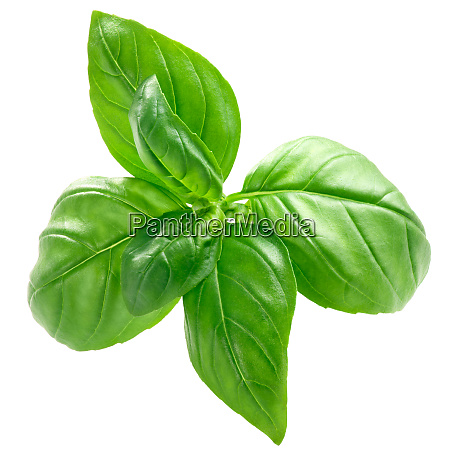 basil o basilicum leaves paths top