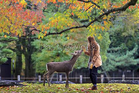 japanese deer playing at nara park