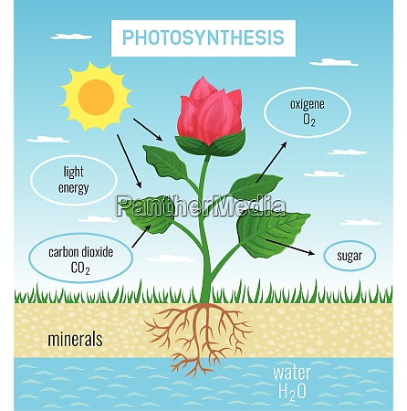 biological photosynthesis role in plant growth