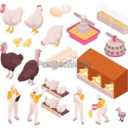 isometric chicken production poultry farm set