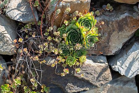 drywall with houseleek plants