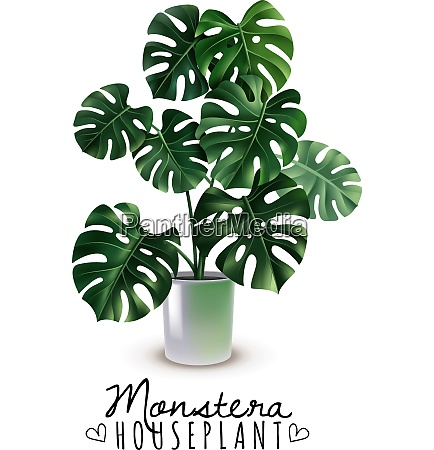 realistic house plant monstera with carved