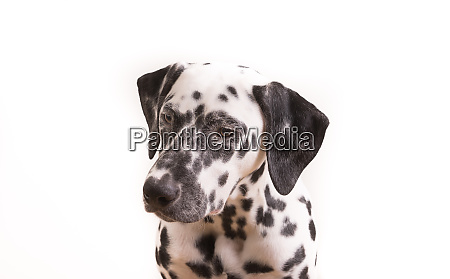 one headshot of young dotted dalmatian
