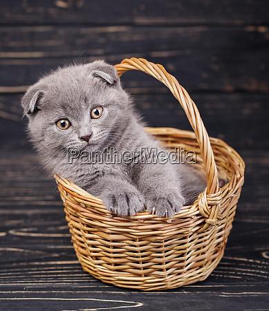 scottish fold kitten gray kitten on