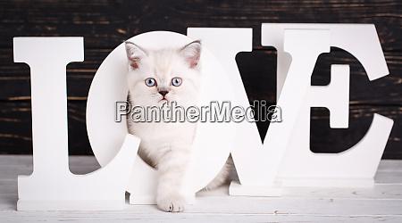 scottish straight cat cream color kitty