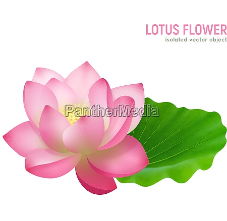 single pink beautiful lotus flower with