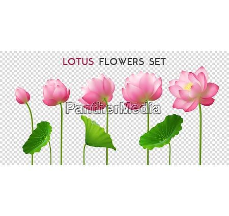 five beautiful pink realistic lotus flowers