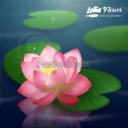 pink lotus flower with two wide