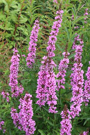 lythrum salicaria wildflower
