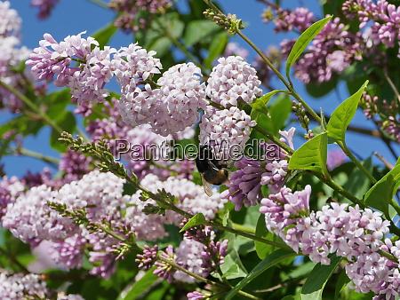 shaggy bumblebee drinks nectar on lilac