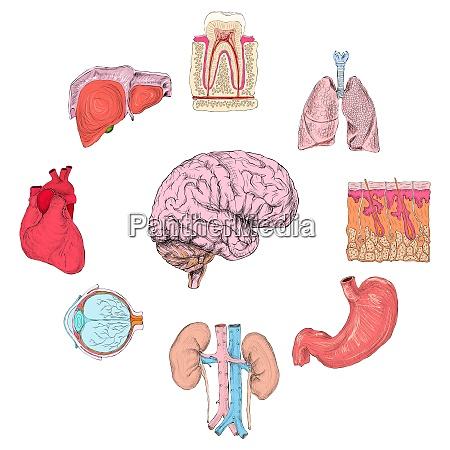 human organs set of lungs heart