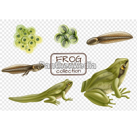 frog life cycle stages realistic set
