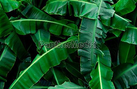 banana green leaves texture background banana
