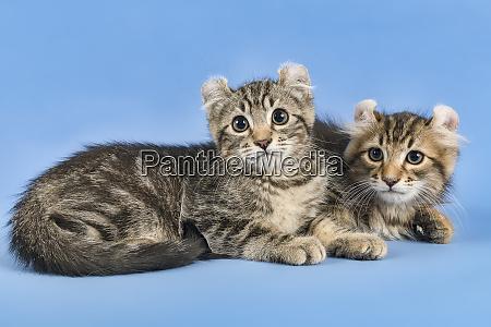 cats american curl 2019 17981