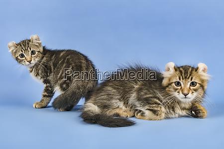 cats american curl 2019 17986
