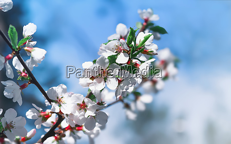 white flowers of cherry blossoms on