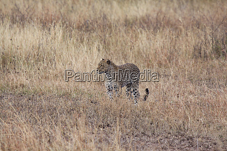 cheetah on stalking