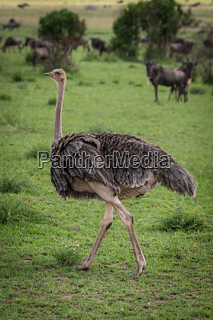 female common ostrich walking over short