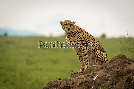 female cheetah sits on mound looking
