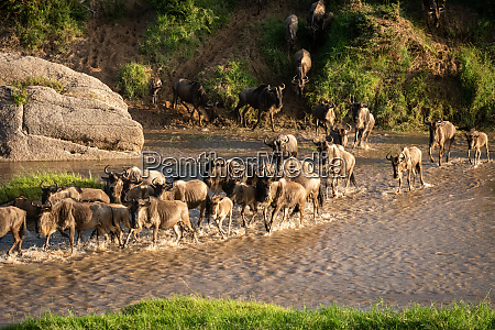 confusion of blue wildebeest crossing shallow