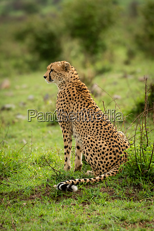 female cheetah sits on grass staring