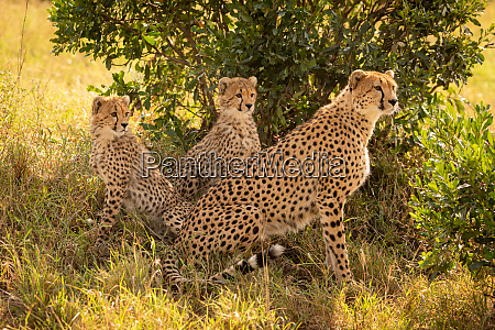 female cheetah sits staring with two