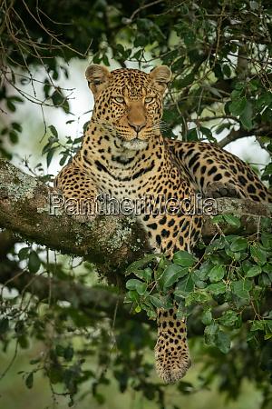 leopard lies on branch dangling paw