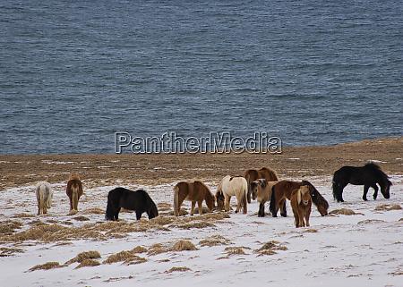 herd of icelandic ponies on a