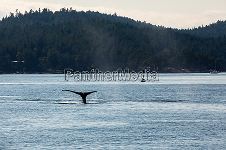humpback whales in the ocean at