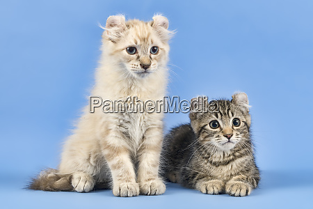 cats american curl 2019 18013