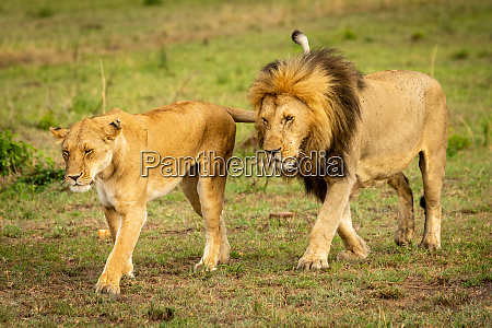 male and female lions cross grassland