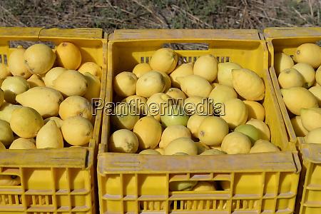 lemons ready for sale alicante province