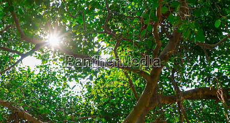 sunlight shines through green leaves of