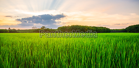 rice field rural panorama with and