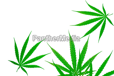 cannabis plant cannabis sativa hemp has